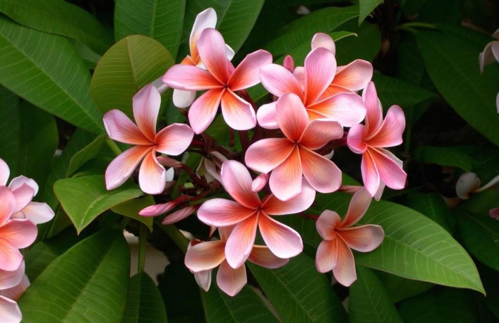 プルメリア 生花 ピンク